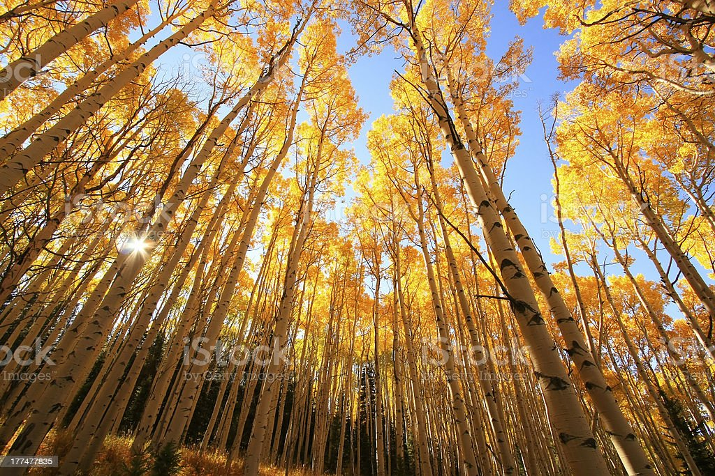 Aspen trees with fall color, San Juan National Forest, Colorado royalty-free stock photo