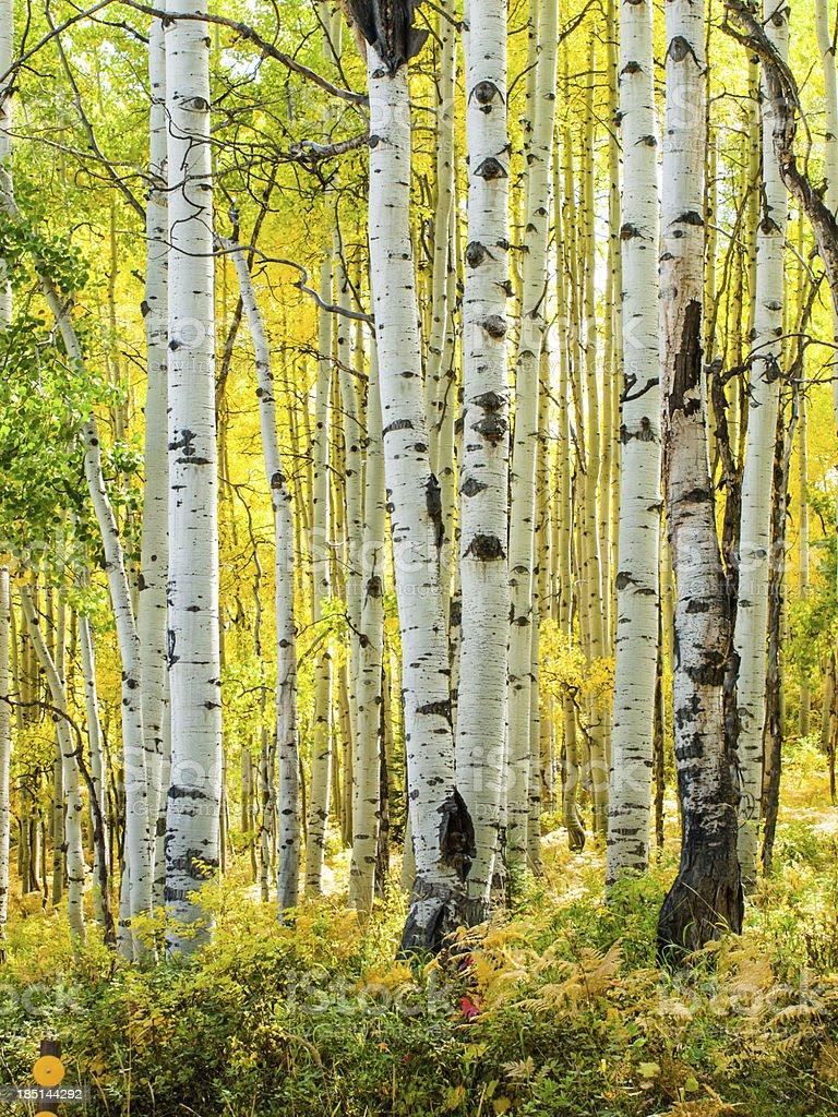 Aspen Trunks in Fall royalty-free stock photo