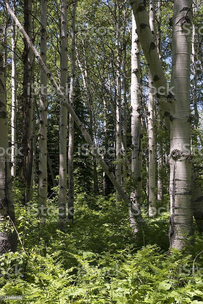 Aspen Wood vertical royalty-free stock photo