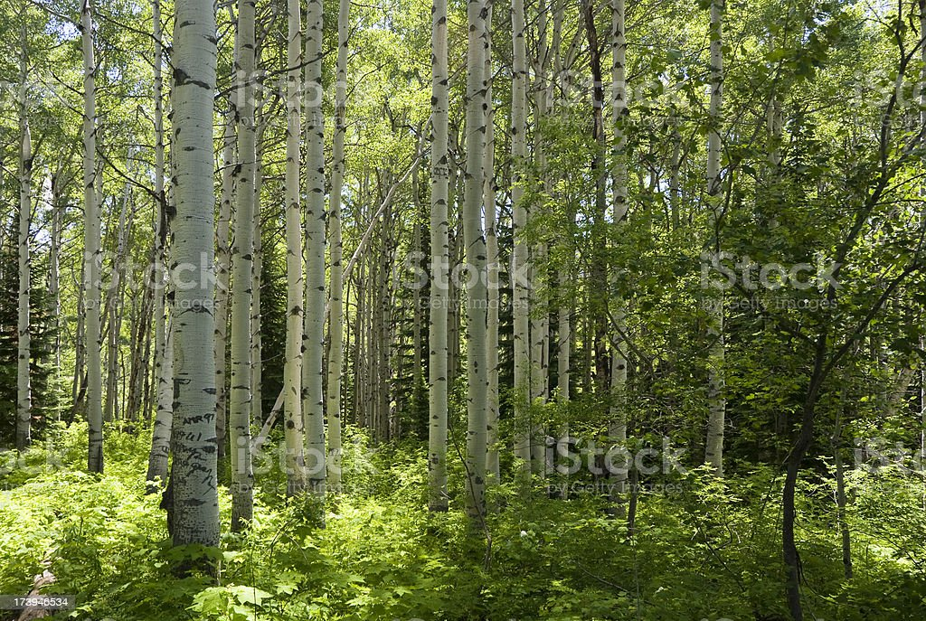 Aspen Woods stock photo