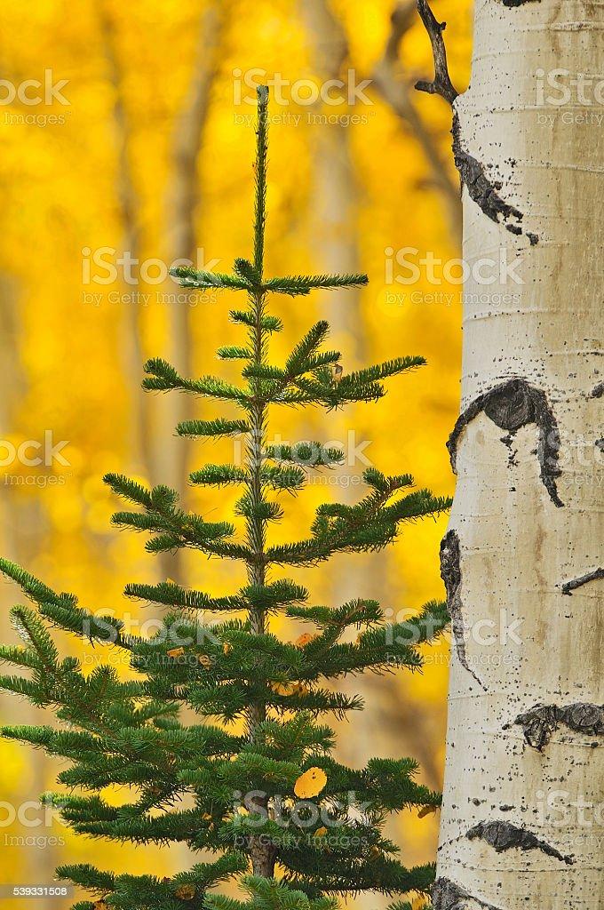 Aspen-Pine Glow stock photo