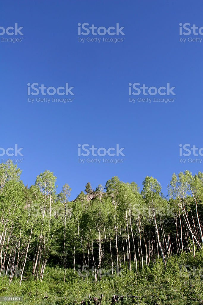 Aspens and Blue Sky royalty-free stock photo