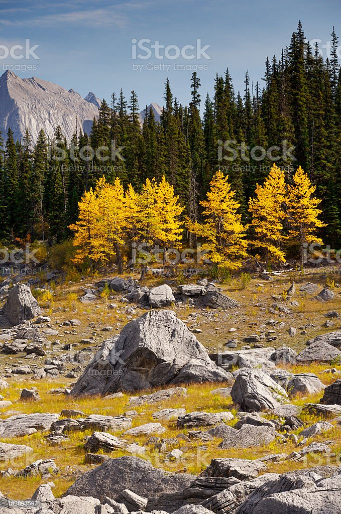 Aspens and boulders stock photo