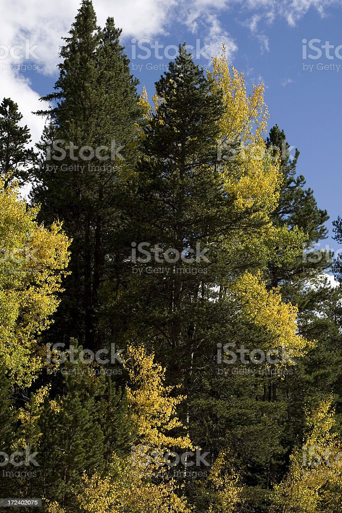 Aspens and Lodgepole Pines stock photo