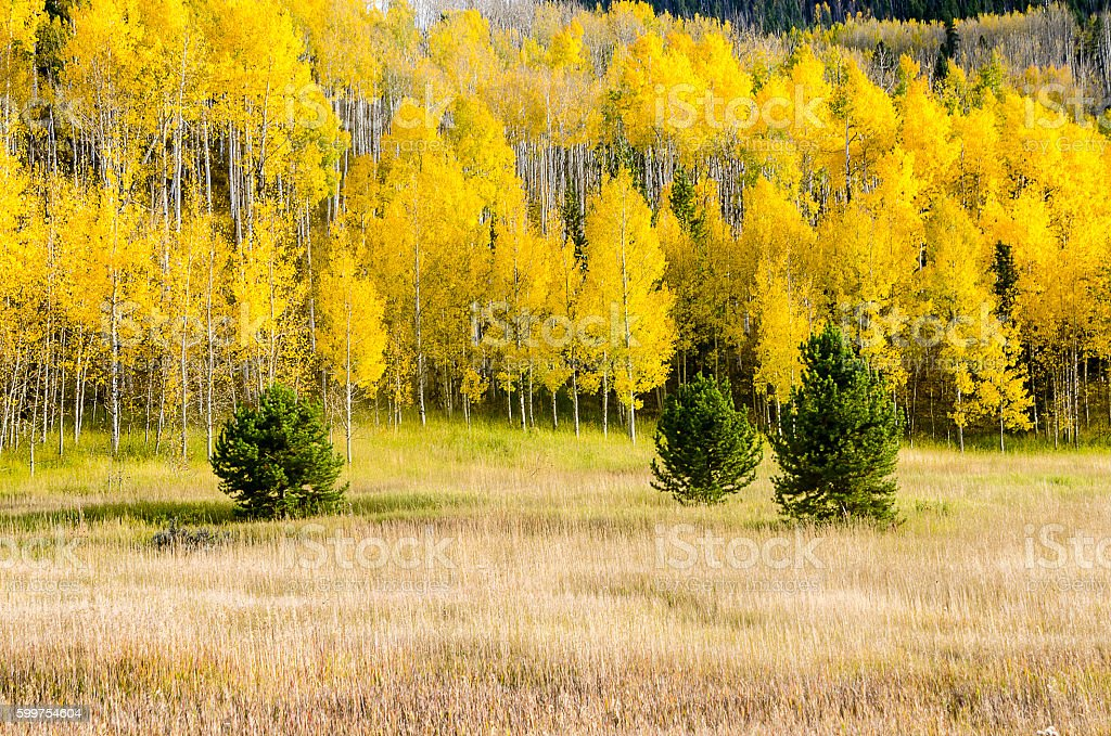 Aspens at Peak Color in the Colorado Rocky Mountains stock photo