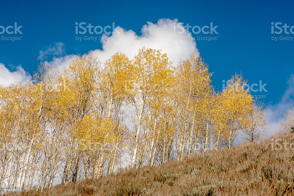 Aspens in fall with white clouds and blue sky stock photo