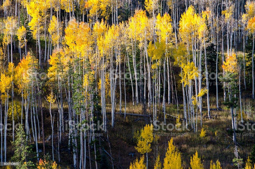 Aspens in the Colorado Rocky Mountains stock photo