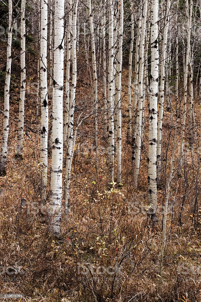 aspens stand straight in fall forest stock photo