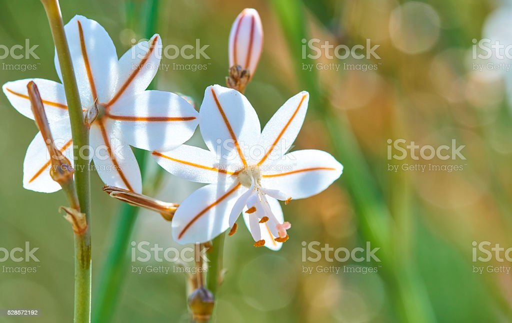 Asphodelus ayardii in spring stock photo