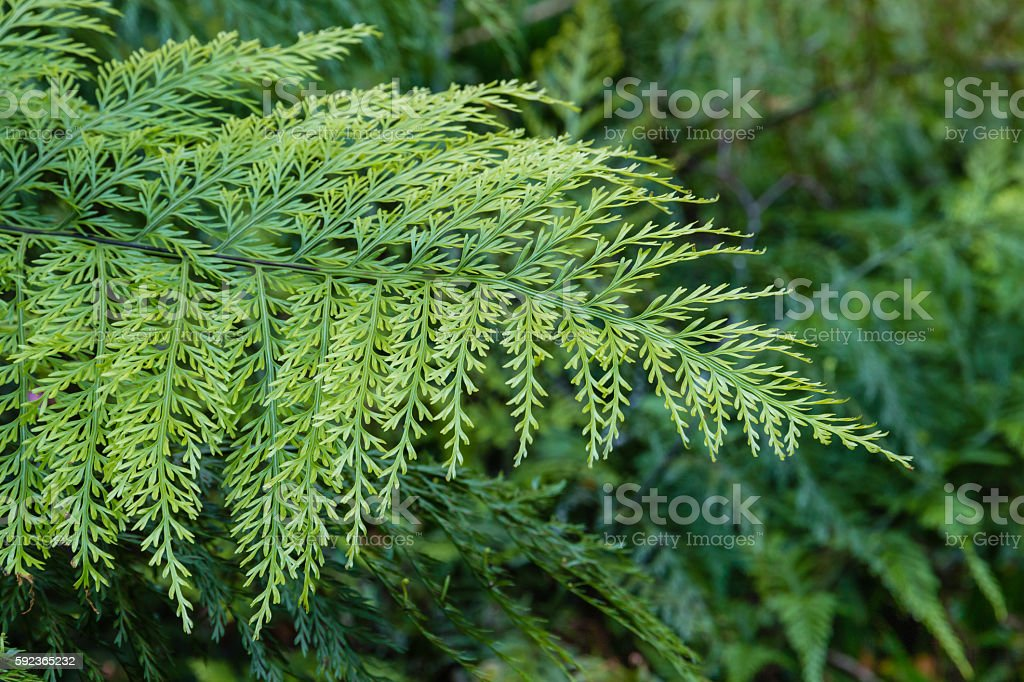 Asplenium Bulbiferum fern leaf stock photo