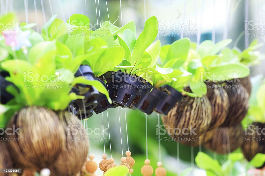 Asplenium nidus (bird nest fern) royalty-free stock photo