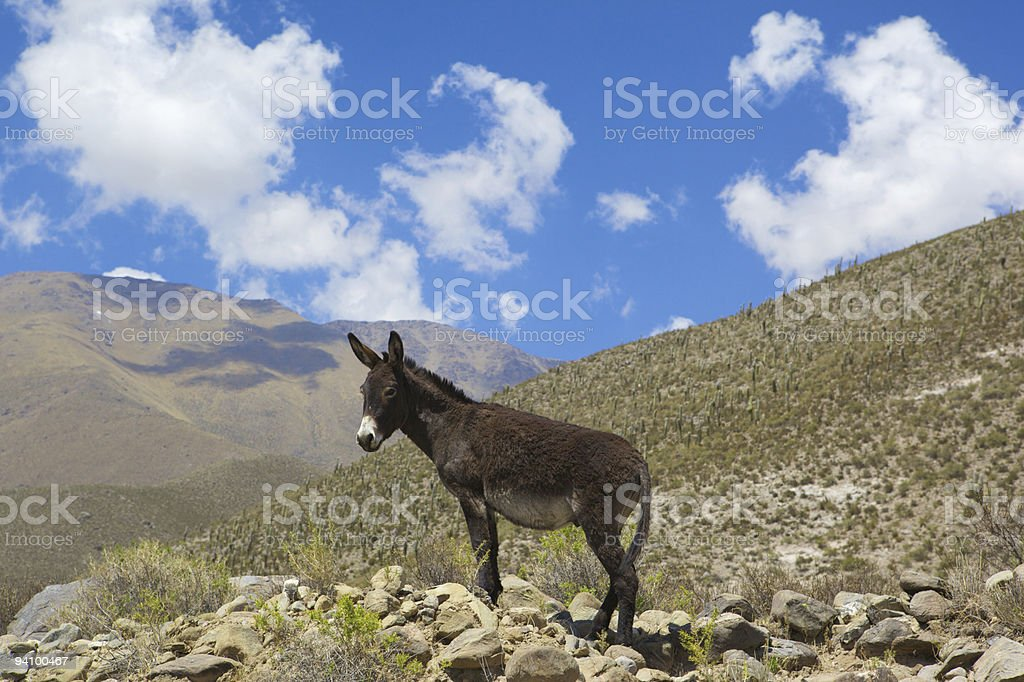 Ass in mountain royalty-free stock photo
