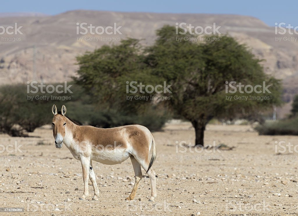 Ass Onager in the wild stock photo