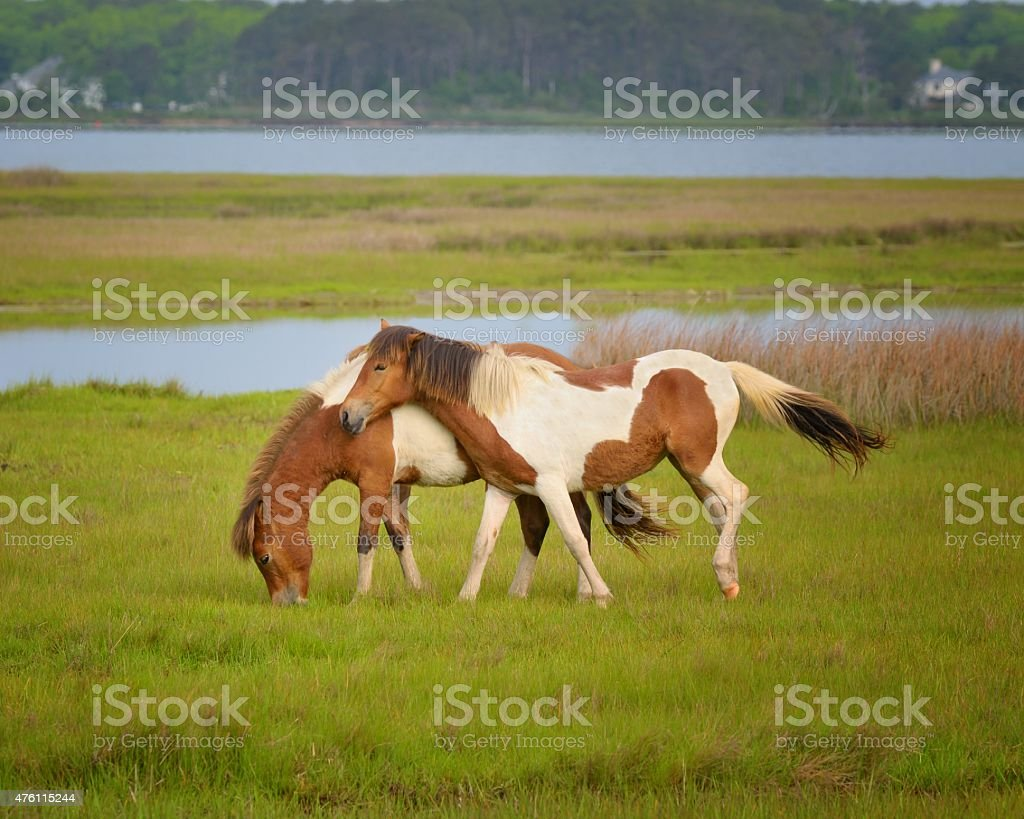 Assateague Chincoteague Ponies Playing stock photo
