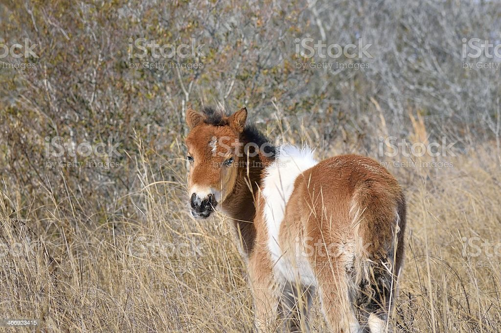 Assateague Colt Looking Back stock photo