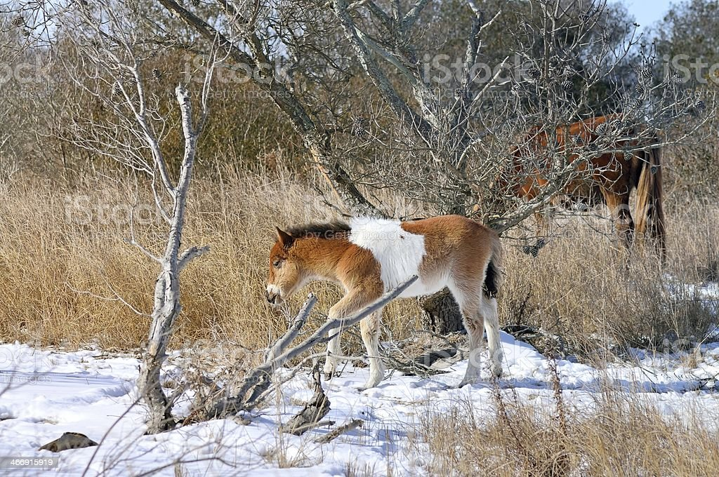 Assateague Colt Stepping Out stock photo
