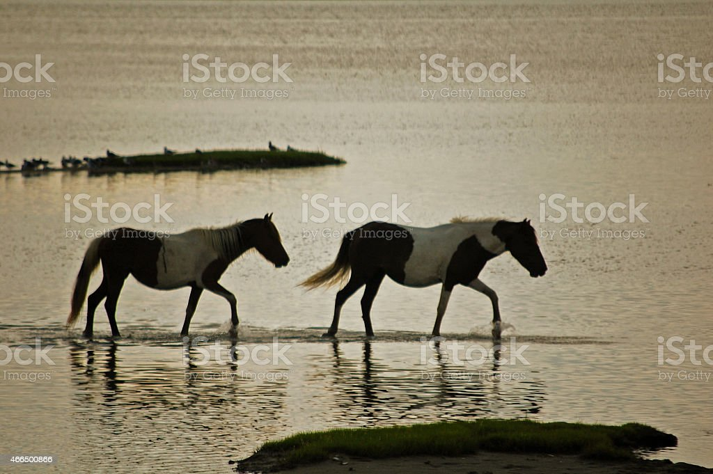 Assateague horses at sunset stock photo