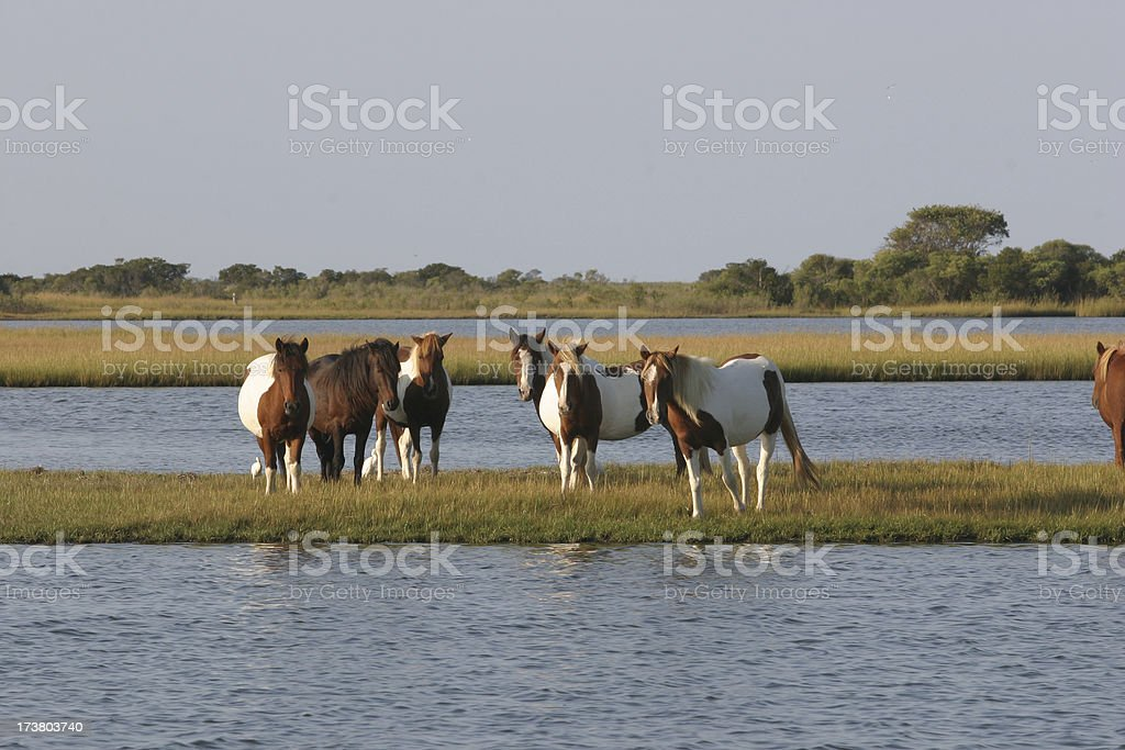 assateague horses stock photo