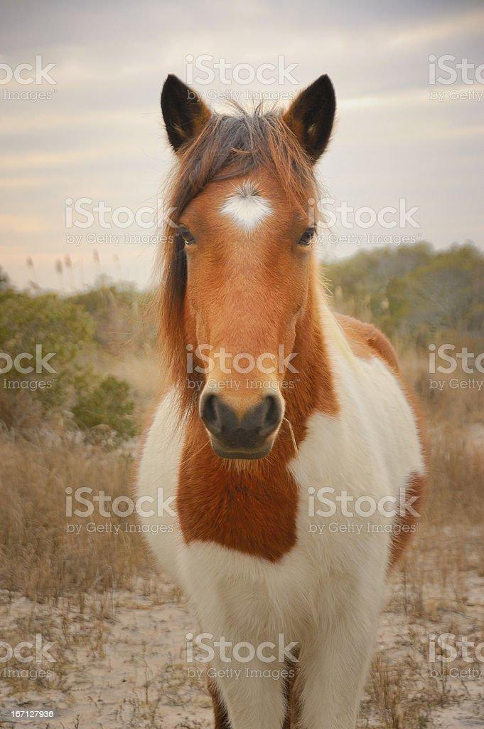 Assateague Island Wild Horse Portrait stock photo