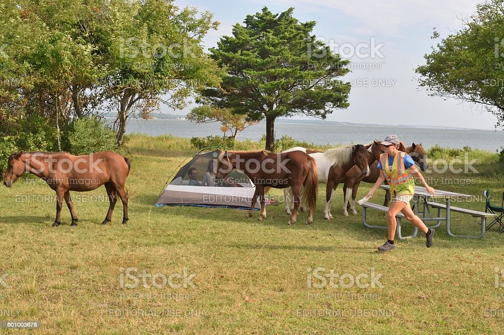 Assateague Ponies Being Chased Away stock photo