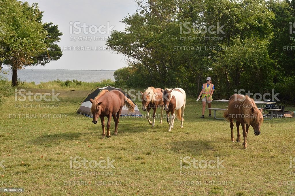 Assateague Ponies Being Herded stock photo