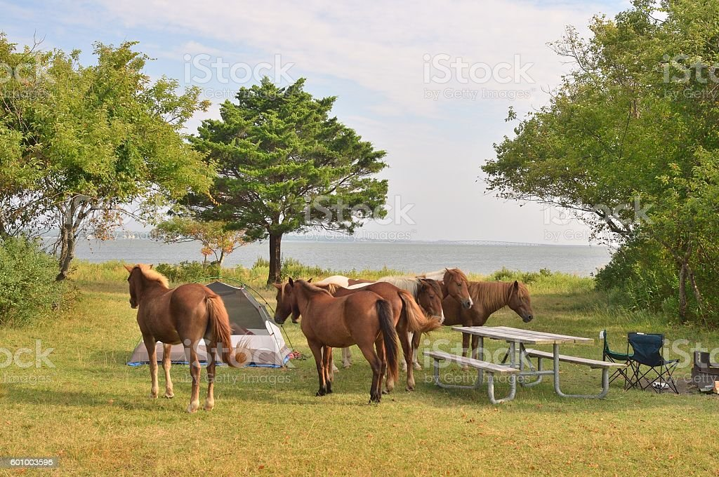 Assateague Ponies Being Pests stock photo