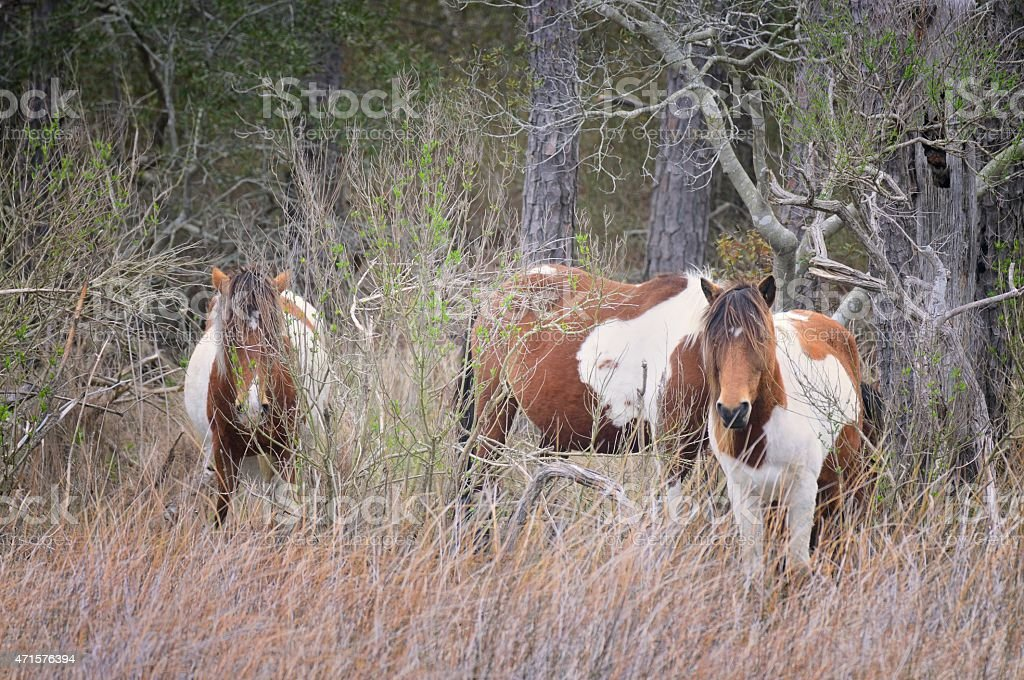 Assateague Ponies In Forest stock photo