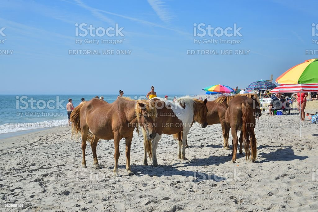 Assateague Ponies Sharing the Beach stock photo