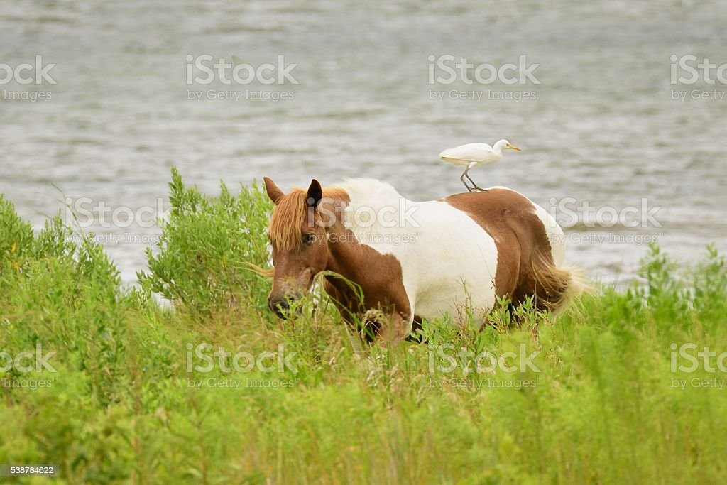 Assateague Pony and Cattle Egret stock photo