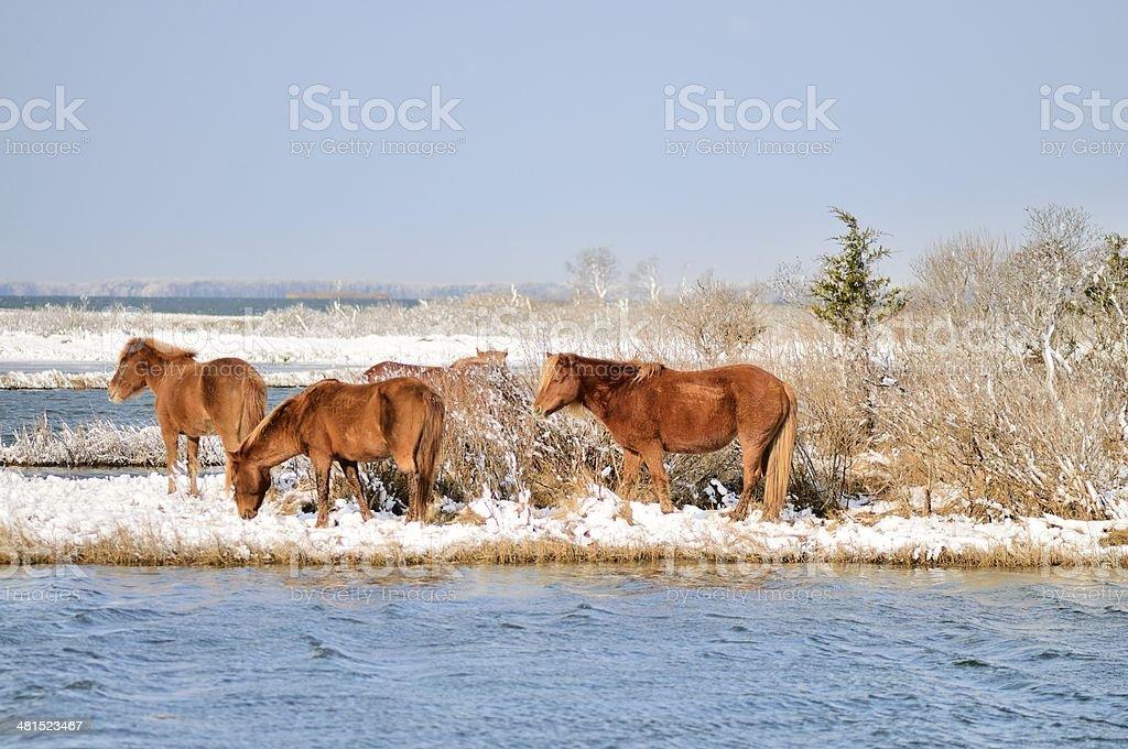 Assateague Pony Group royalty-free stock photo