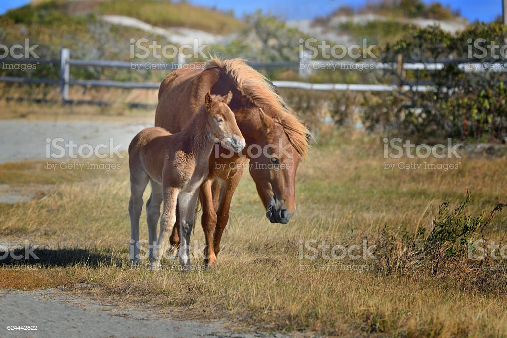 Assateague Pony Mare and Foal stock photo