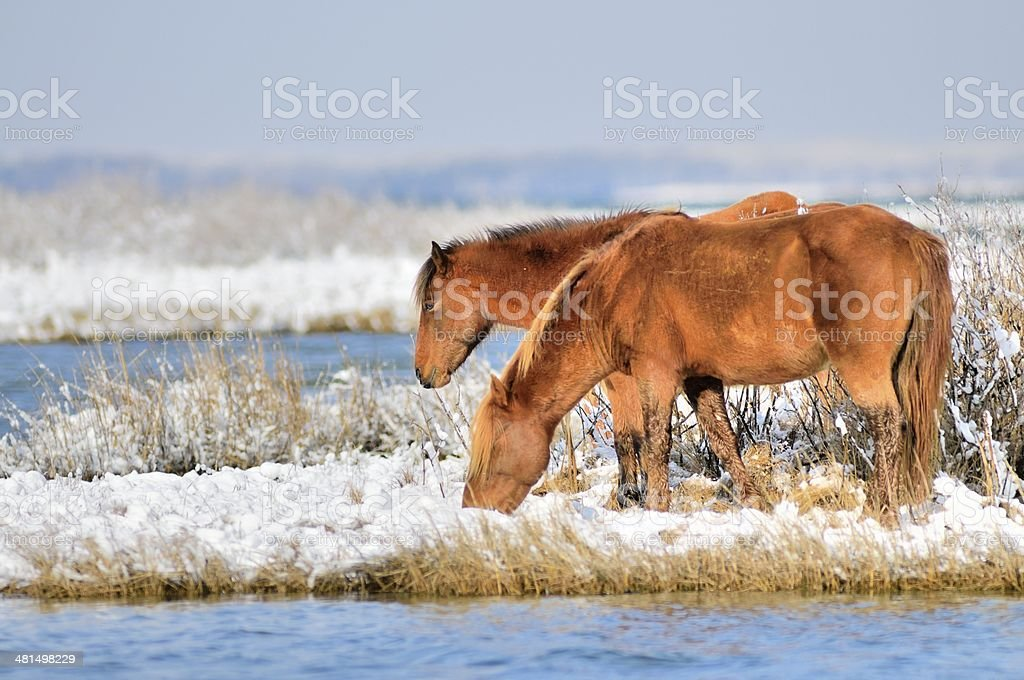 Assateague Pony Pair stock photo