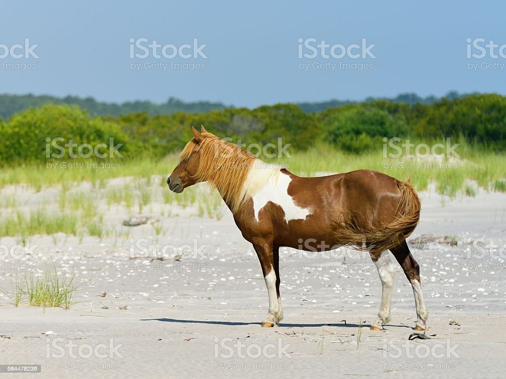 Assateague Stallion Profile stock photo