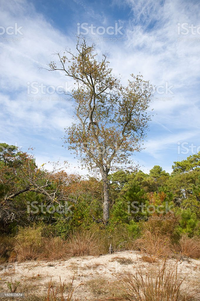 Assateague Tree in Autumn stock photo