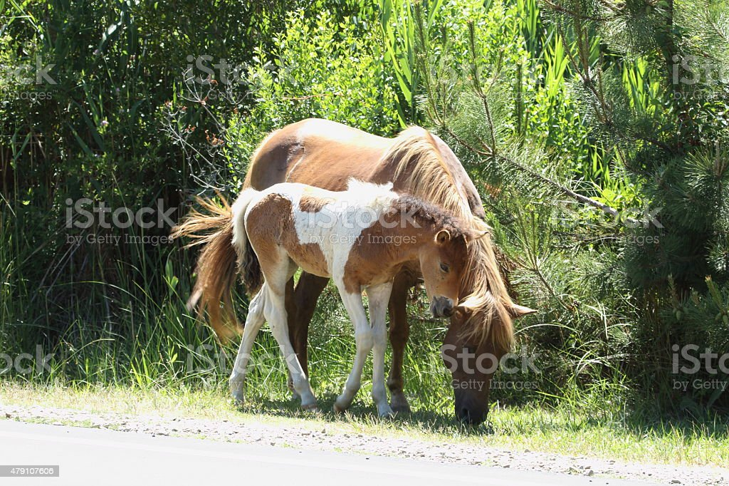 Assateague Wild Horse stock photo