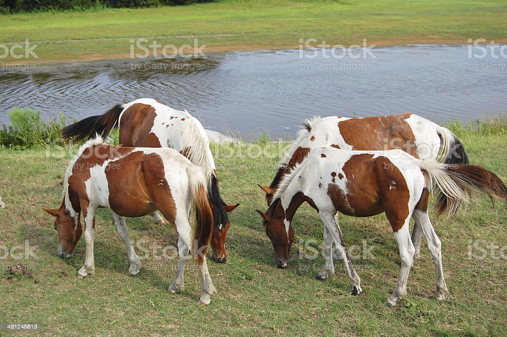 Assateague wild horses stock photo