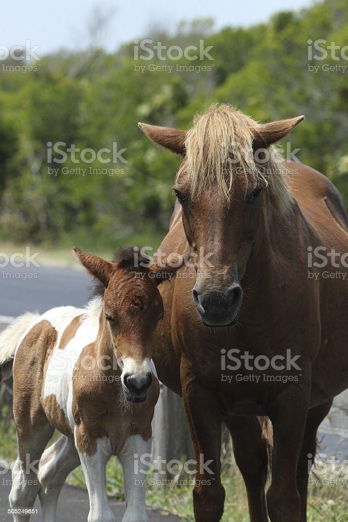 Assateague Wild Horses stock photo