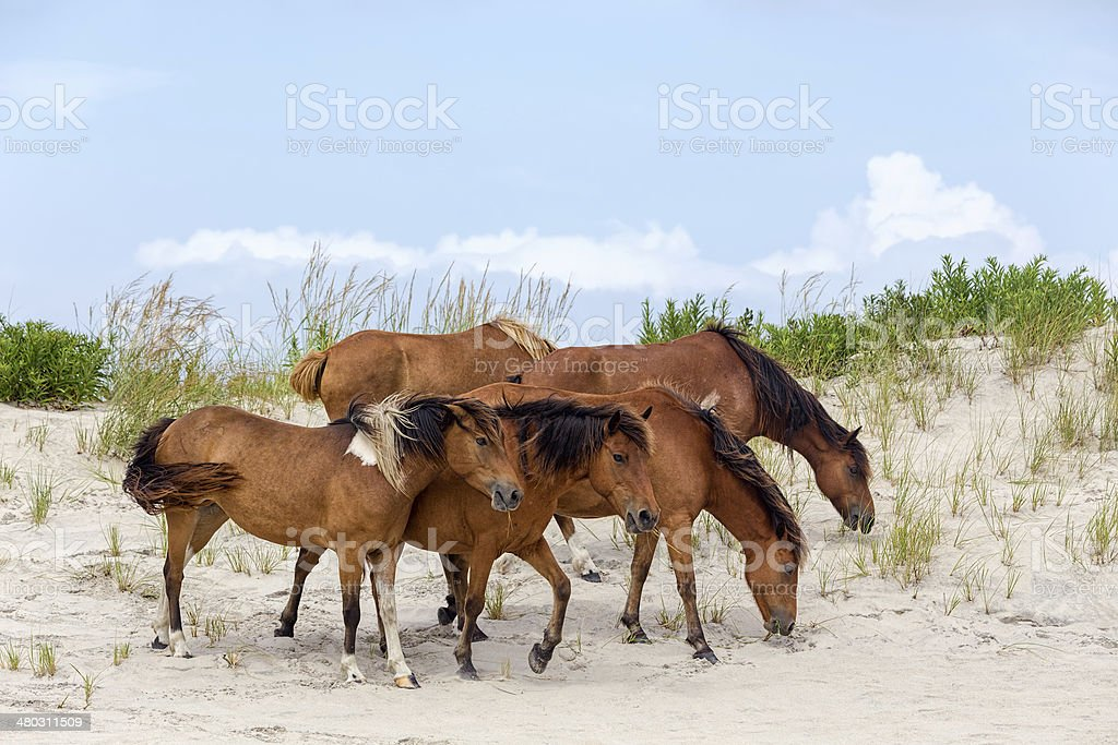 Assateague Wild Ponies on the Beach stock photo