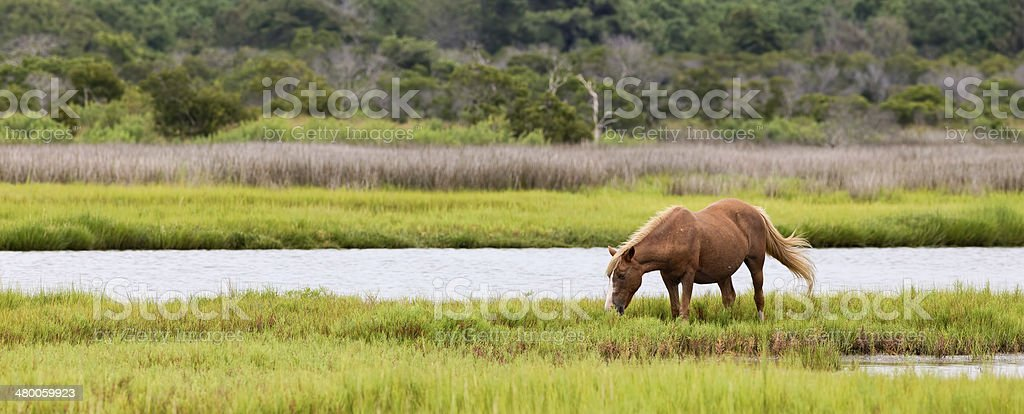 Assateague Wild Pony Grazing in Field stock photo