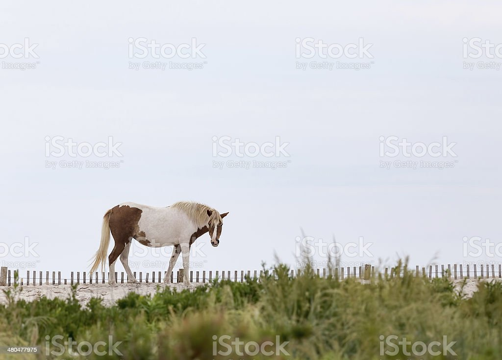 Assateague Wild Pony on the Beach stock photo