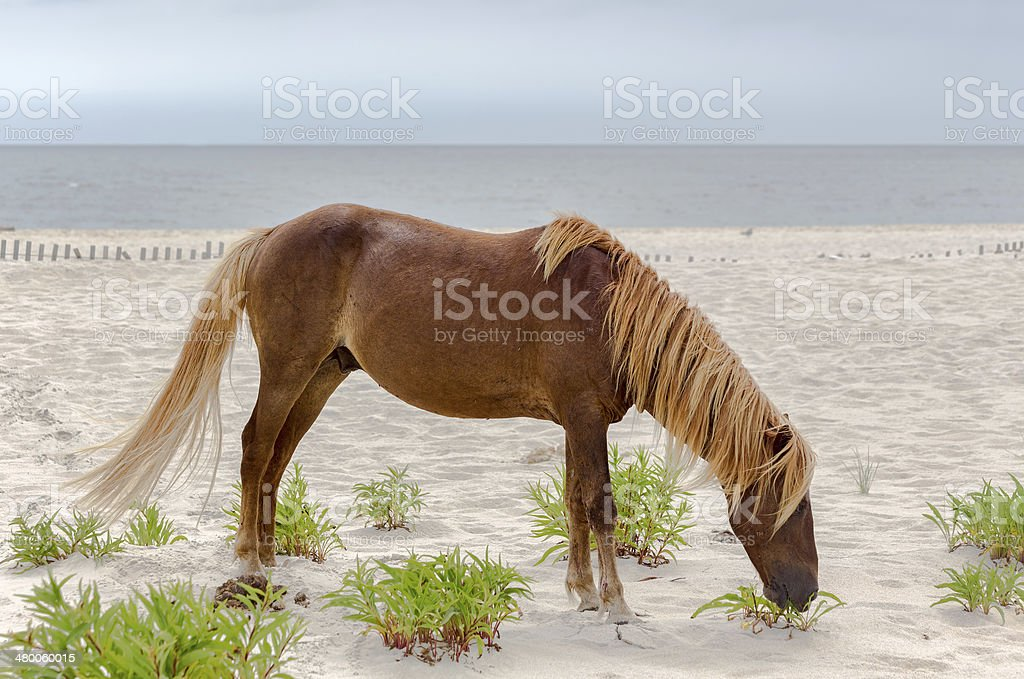 Assateague Wild Pony stock photo