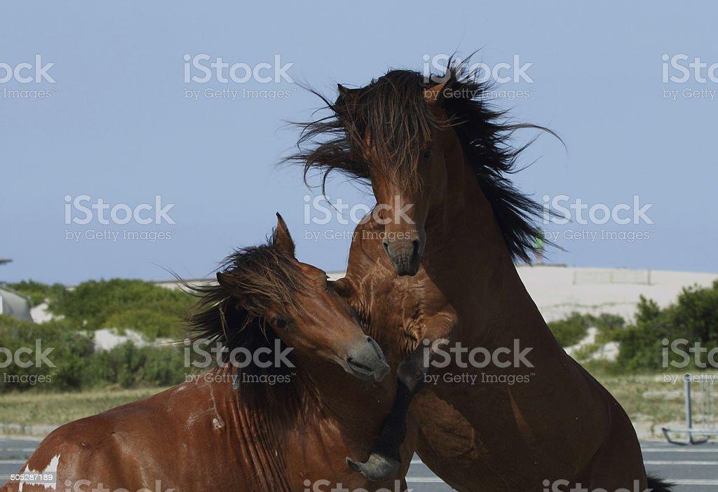 Assateague Wild Pony stock photo