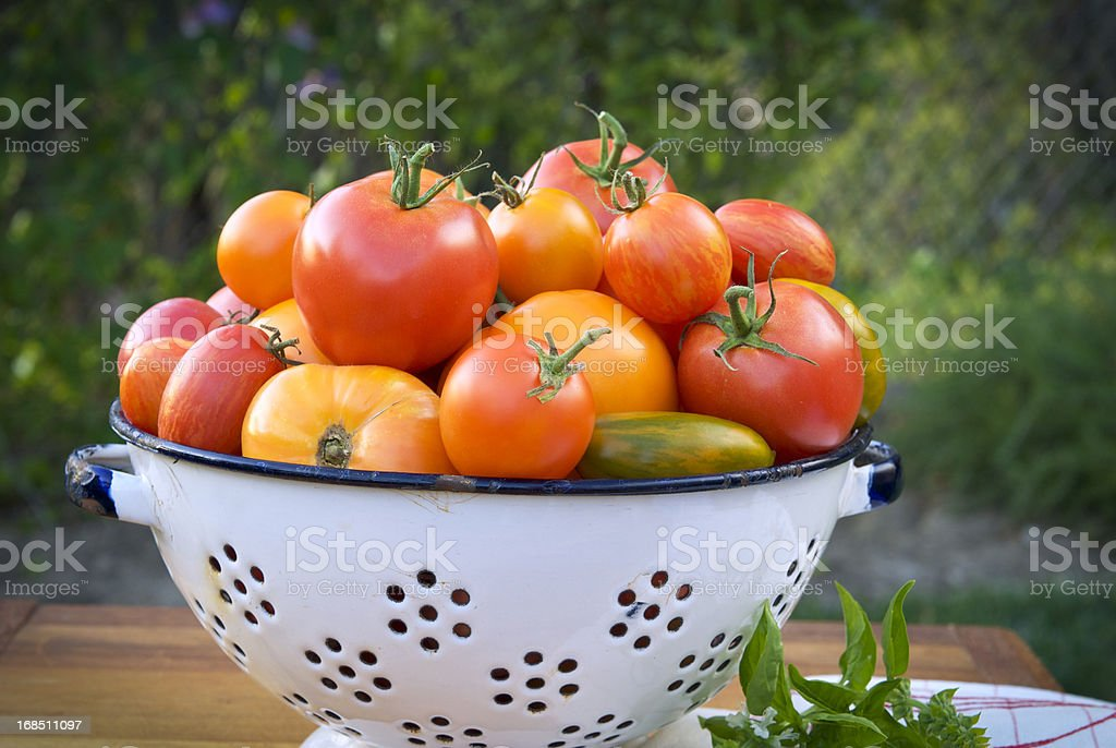 Assorted Organic Heirloom Tomatoes & Colander in Vegetable Garden royalty-free stock photo