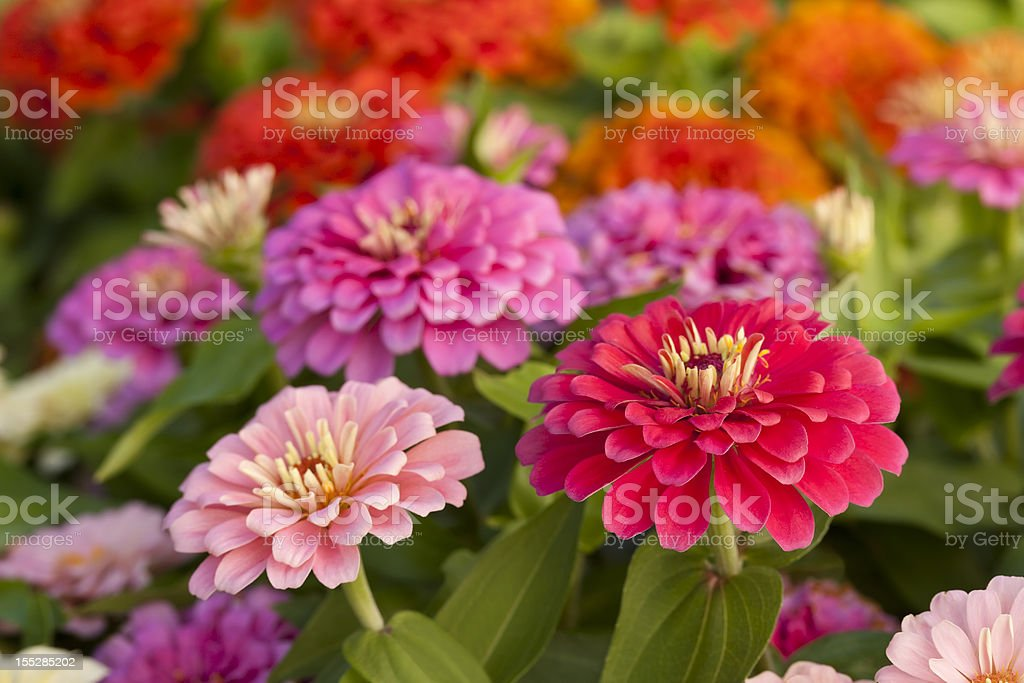Assortment of pink-shaded zinnias in a flower patch stock photo