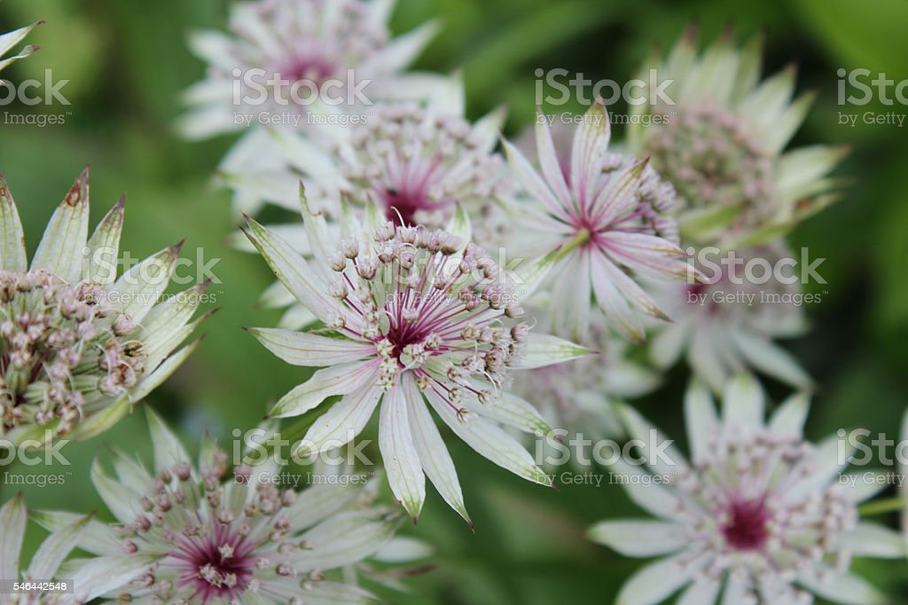 astrantia stock photo