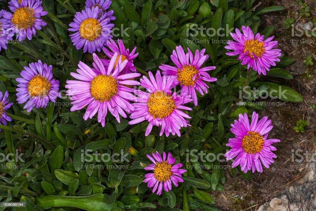 Aster alpininus (family: Compositae, also known as Asteraceae). Western Alps stock photo