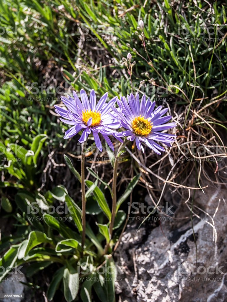 aster alpinus flowers on Velky Rozsutec stock photo