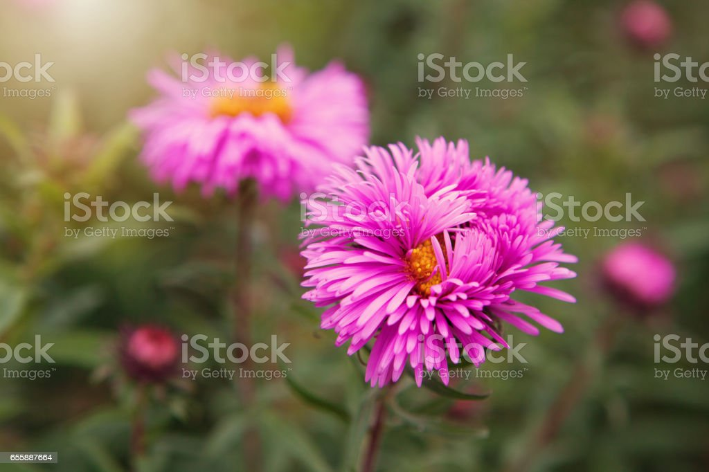 Aster alpinus (Alpine aster) in the late autumn garden stock photo