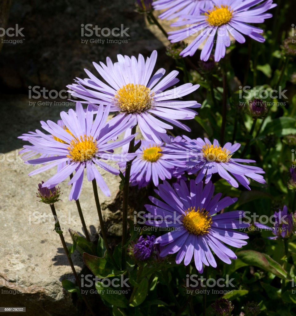 Aster; alpinus stock photo