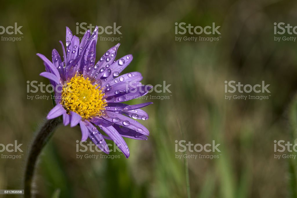 Aster alpinus with dew stock photo
